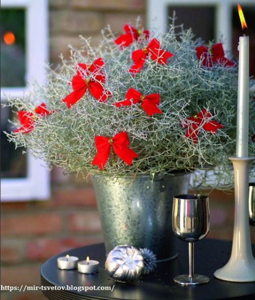 Уход за растением калоцефалус. Калоцефалус - серебристый куст в цветочном горшке, который украсит дом не только в праздничные дни