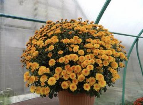Выращивание хризантем мультифлора. Особенности выращивания хризантемы мультифлора
