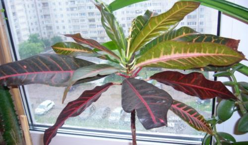 Почему у кротона опадают листья и что делать. Почему у кротона сохнут и опадают листья и что при этом делать