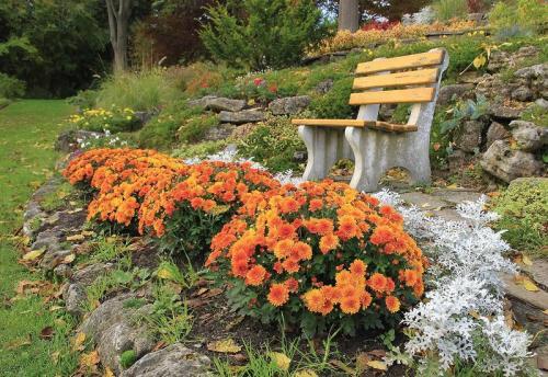Корейская хризантема зимующая. Что собой представляют корейские хризантемы