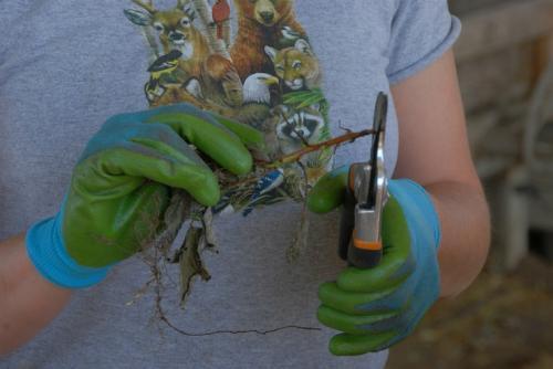 Размножение малины корневыми черенками в горшочках. Размножение малины корневыми черенками