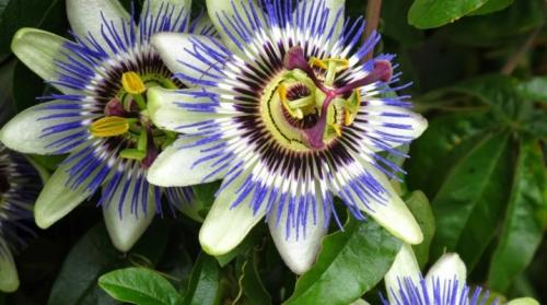 Пассифлора и вечноцветущие бегонии. Пассифлора: виды, посадка и уход в домашних условиях