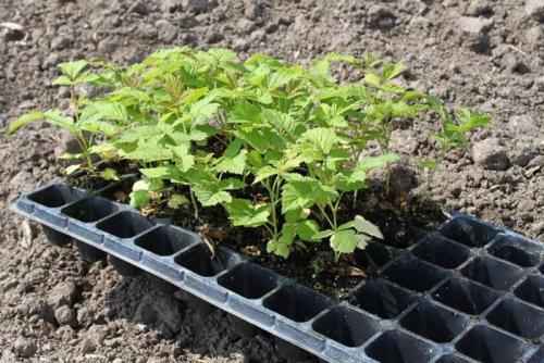 Как выращивать малину из семян?. Как вырастить малину из семян?