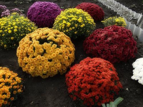 Выращивание шаровидных хризантем из семян в домашних условиях. Выращивание хризантем мультифлора: правила посадки и ухода