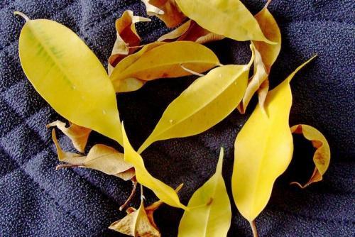 У фикуса Бенджамина опали почти все листья. Фикус Бенджамина — желтеют и опадают листья, что делать