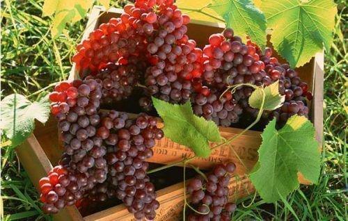 Урожайность винограда с 1 га и куста. Урожайность, как характеристика винограда