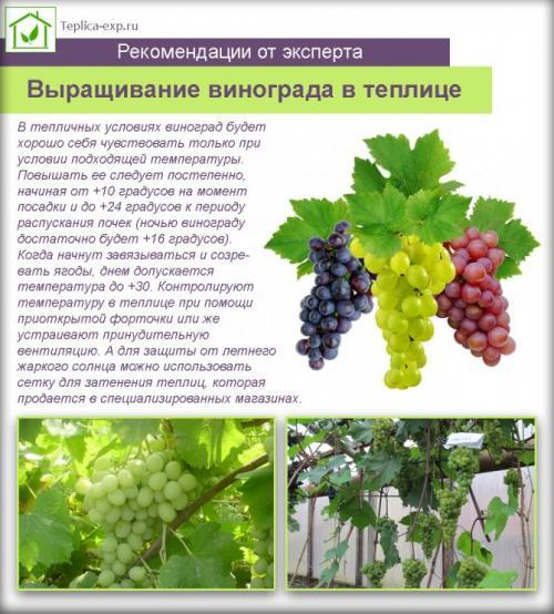 Сорт винограда аглая. Теплица или открытый грунт?