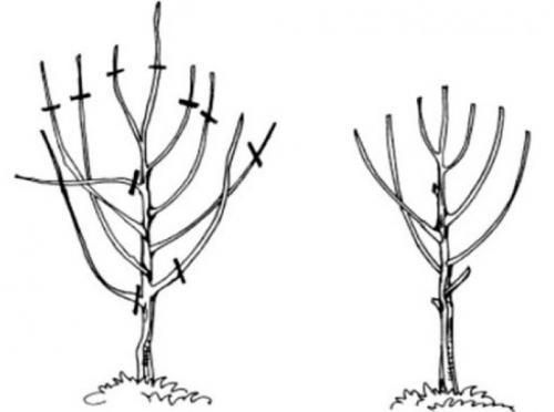 Правильная обрезка вишни весной. Особенности обрезки молодых и старых вишен