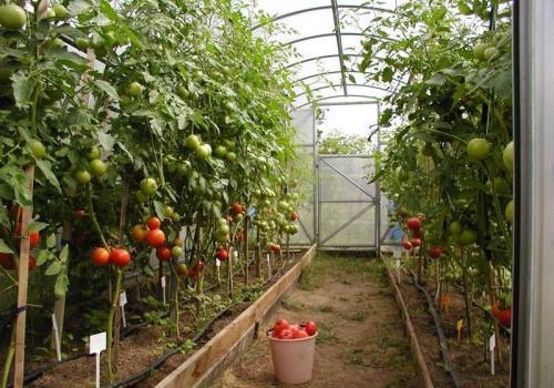 Уплотнённая посадка томатов в теплице. Схема посадки томатов в дачной теплице шириной 3 м