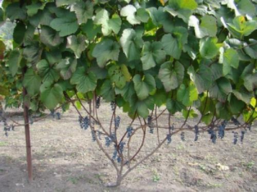 Амурский виноград посадка и уход