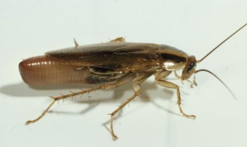 Как размножаются тараканы. Особенности размножения