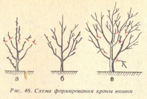 Обрезка вишни первый год. Разновидности и особенности обрезок вишни