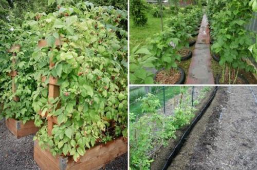 Технология выращивания малины в открытом грунте. Технология выращивания в открытом грунте, особенности ухода