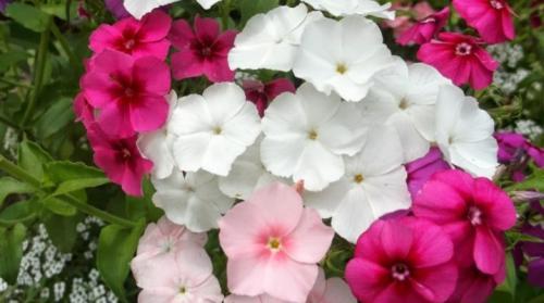 Флоксы однолетние выращивание из семян. Однолетние флоксы: описание сортов и особенности выращивания
