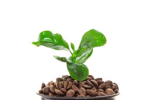 Земля для кофейного дерева в домашних условиях. Как ухаживать за кофейным деревом