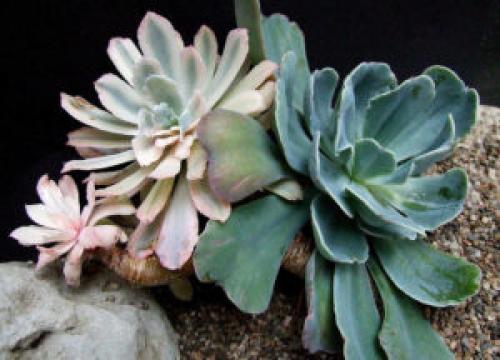 Эхеверия пулидонис. Виды эхеверий для комнатного цветоводства